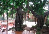 室内仿真树-榕树